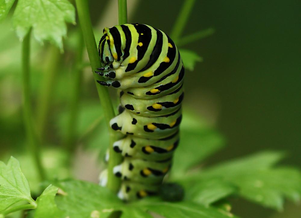 Final instar of Eastern Black Swallowtail caterpillar