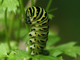 Awaiting a lepidopteran metamorphosis
