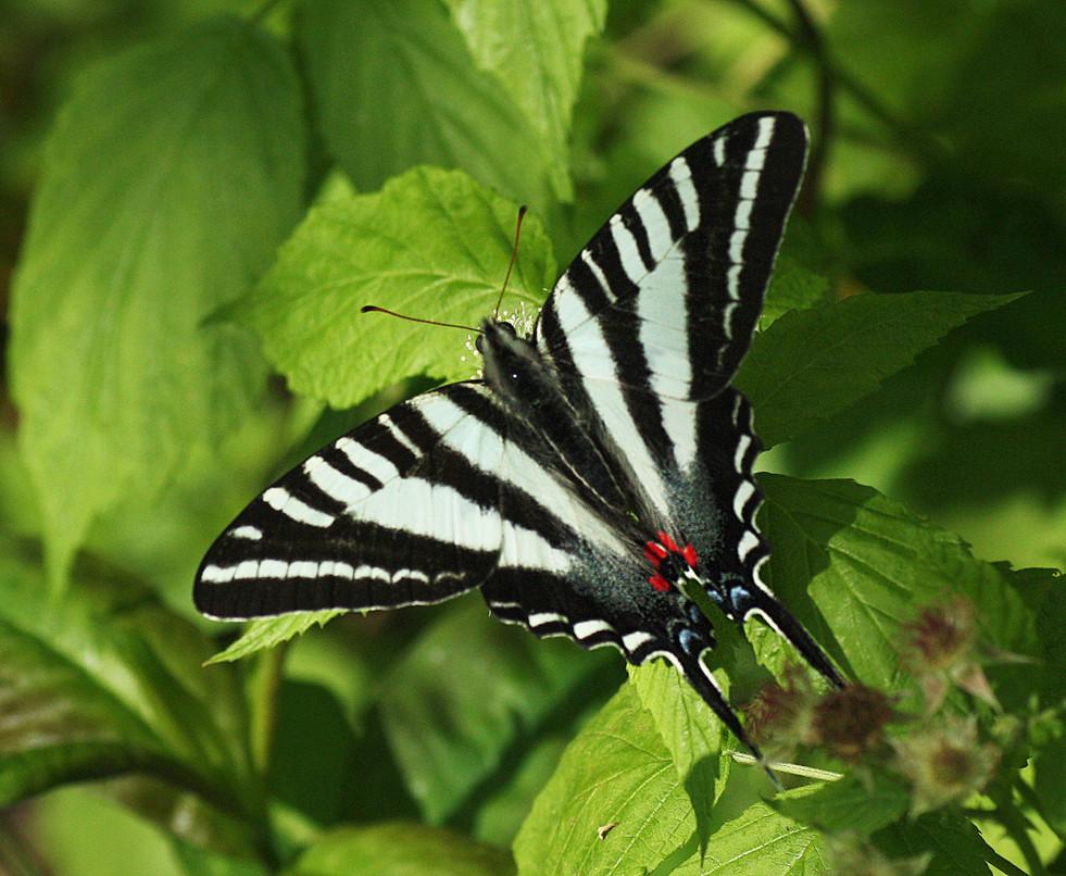 Zebra Swallowtail necatring on Black Ras