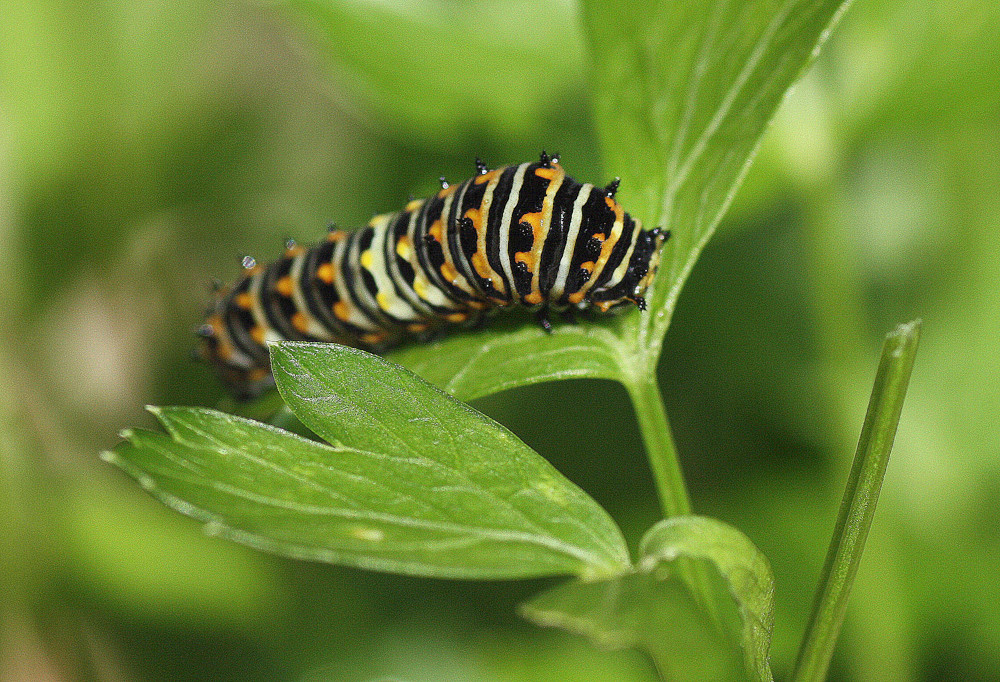 Later instar of Eastern Black Swallowtail caterpillar
