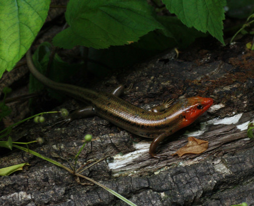 Common Five-lined Skink_male in breeding
