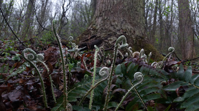 Christmas Fern fiddleheads