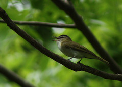 Singing male Red-eyed Vireo