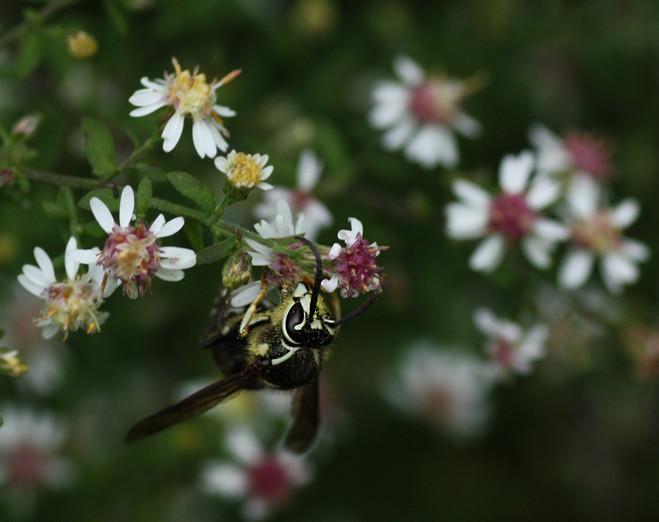 Bald-faced Hornet on Calico Daisy