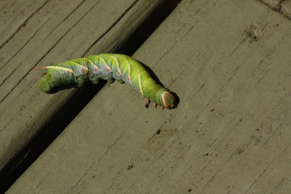Waved Sphynx moth caterpillar_9206-WIB.jpg