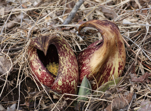 Eastern Skunk Cabbage blooming, one of the first plants to bloom in the Blue Ridge
