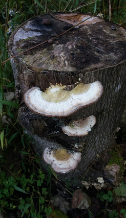 Shelf mushroom on Tuliptree stump