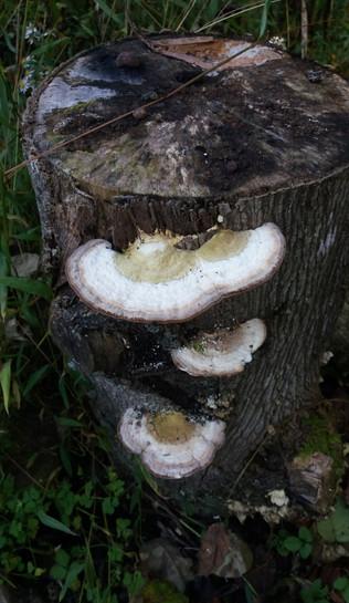 Shelf mushroom on Tuliptree stump
