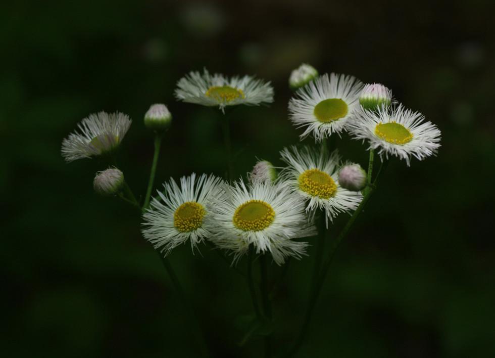 Daisy Fleabane blooming