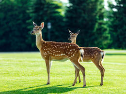 Fawn and Deer