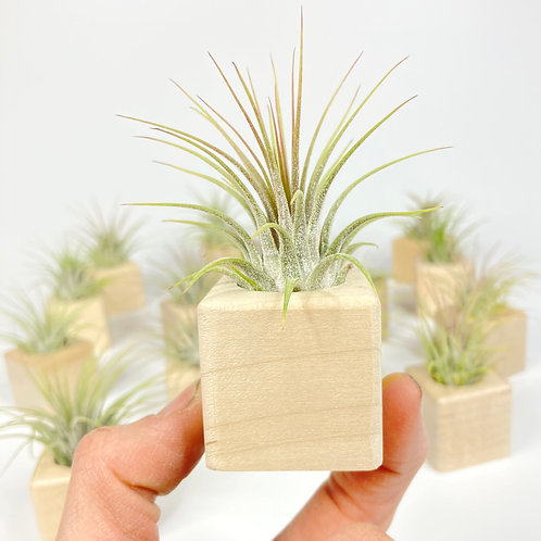 Cube with Airplant