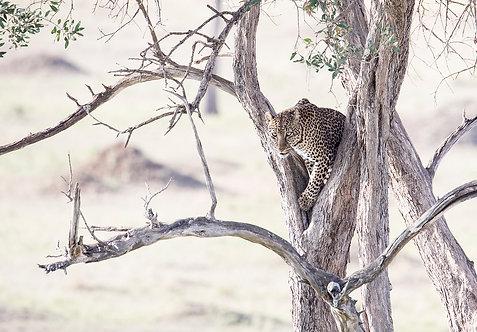 Kiboko Leopard