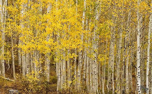 Autumn's Gold