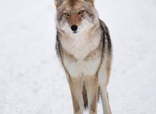 January in Yellowstone