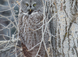 Great Grey Owl in the hood!