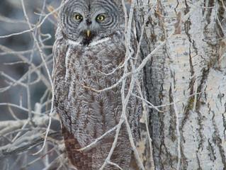 Great Grey Owl in the hood!