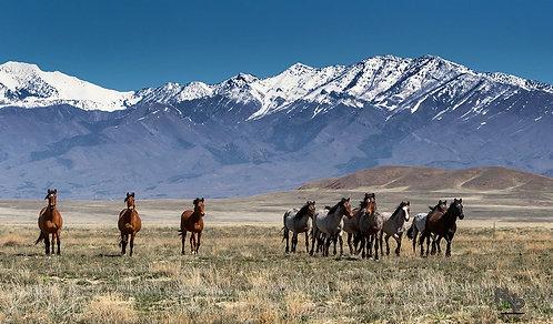 Onaqui Herd