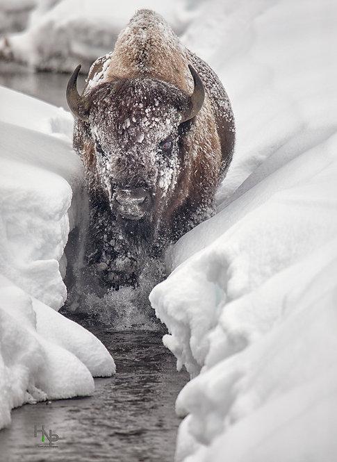 Ice Bison Cometh