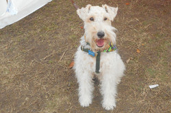 Just Harry the wire fox terrier