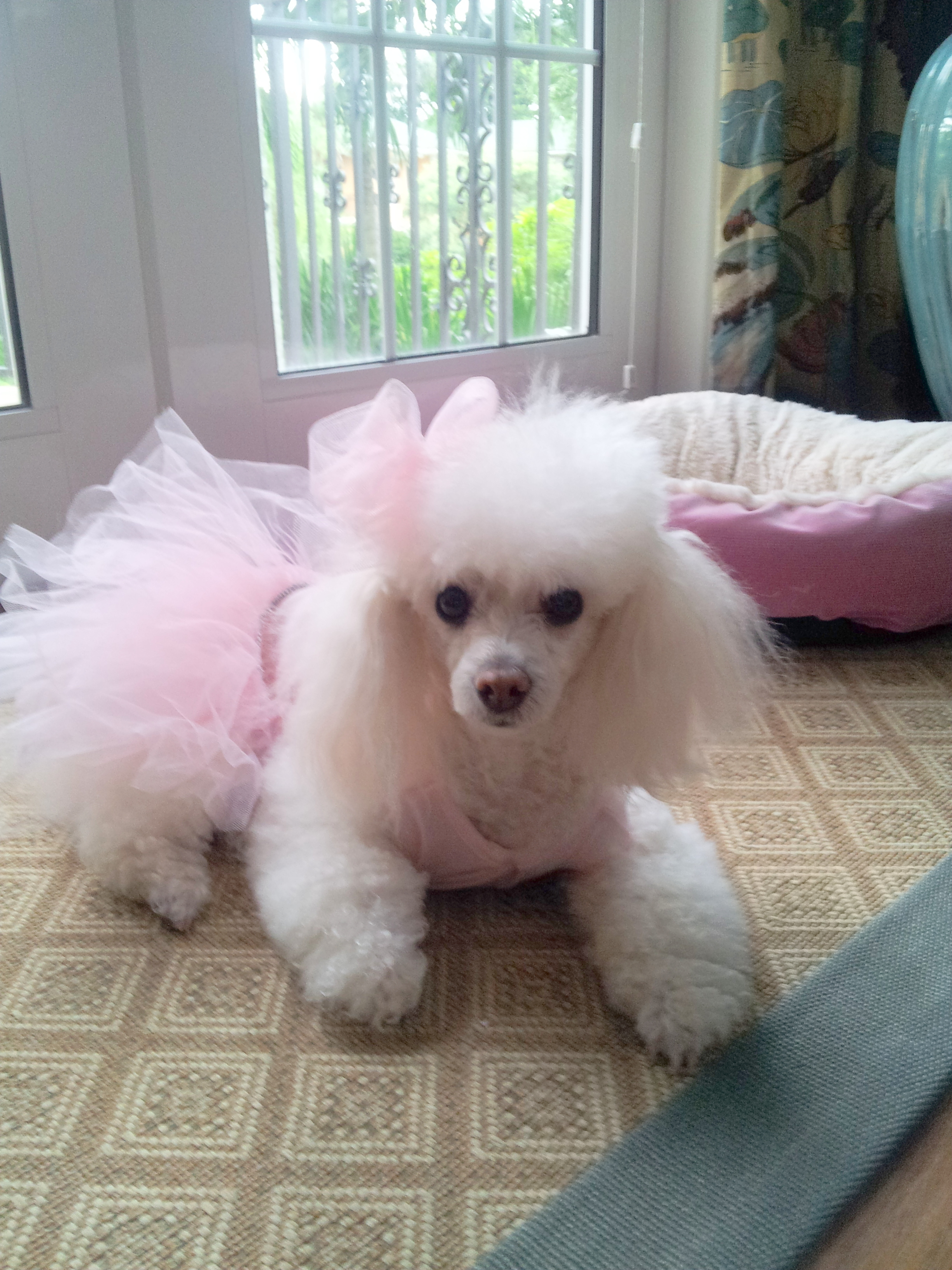 Angelique Pams poodle edited