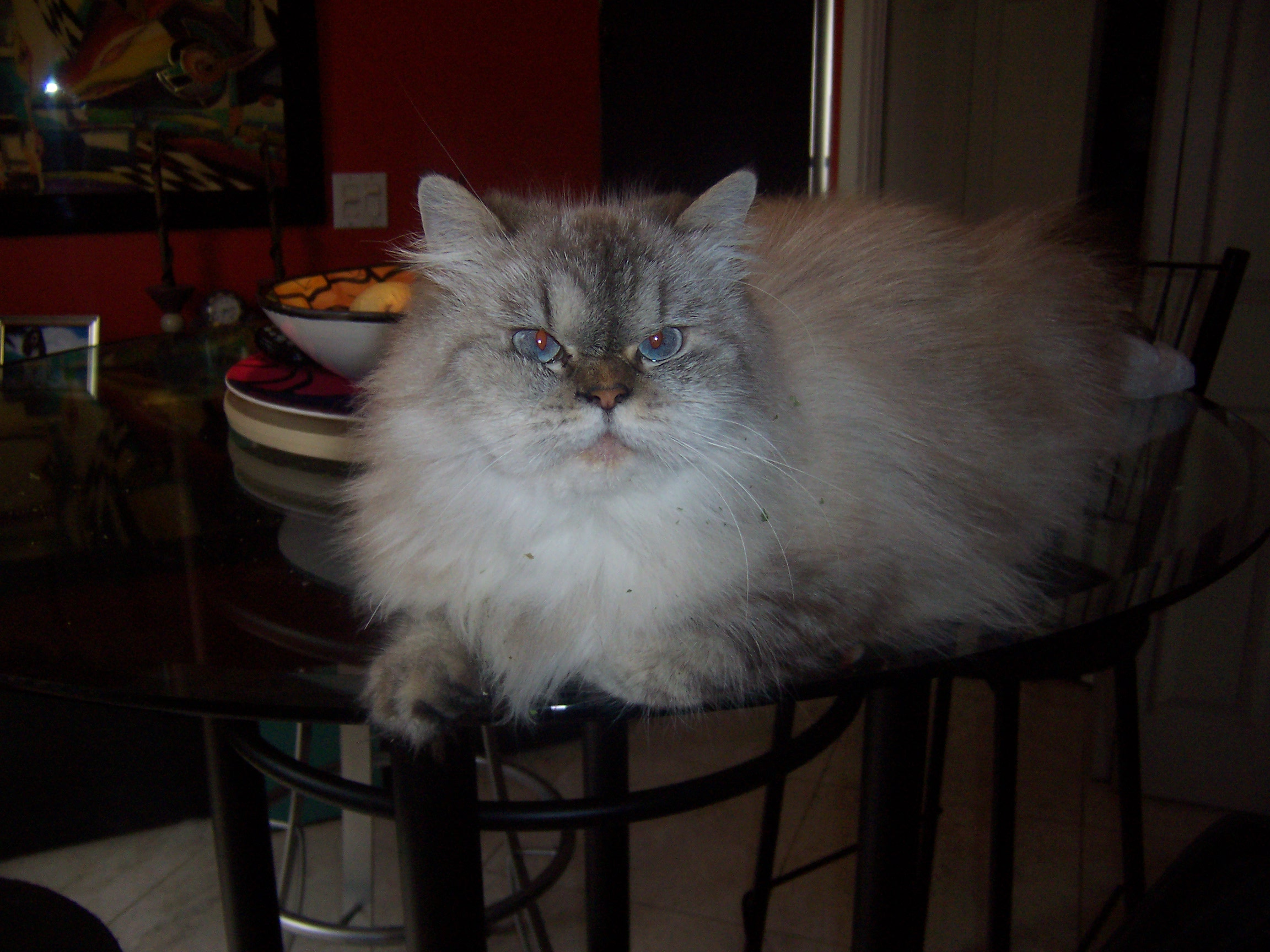 ELLA HIMALAYAN LYNX CAT - 4yrs young