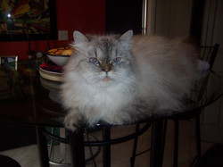 ELLA HIMALAYAN LYNX CAT - 4yrs young