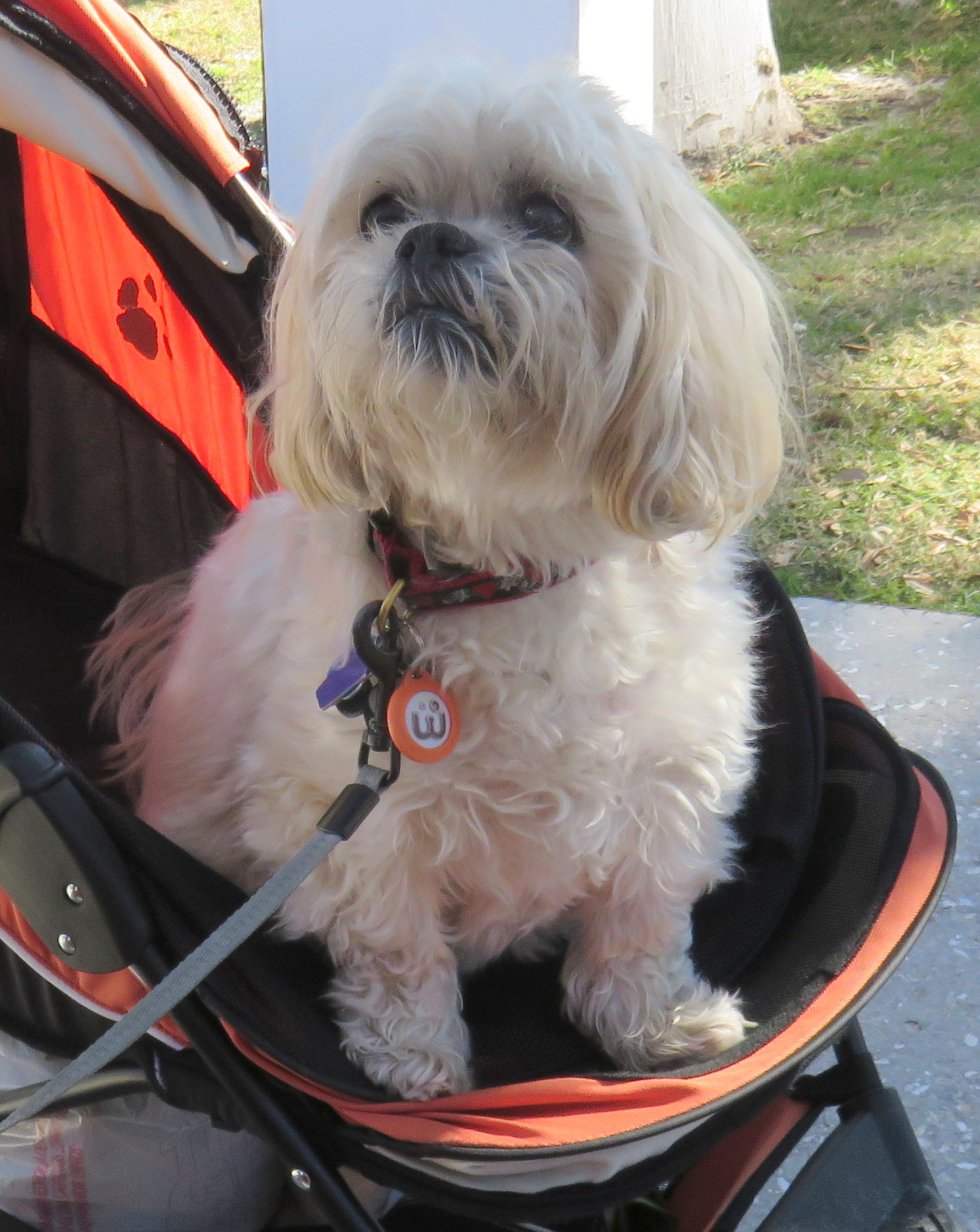 Casey the Lhasa Apso