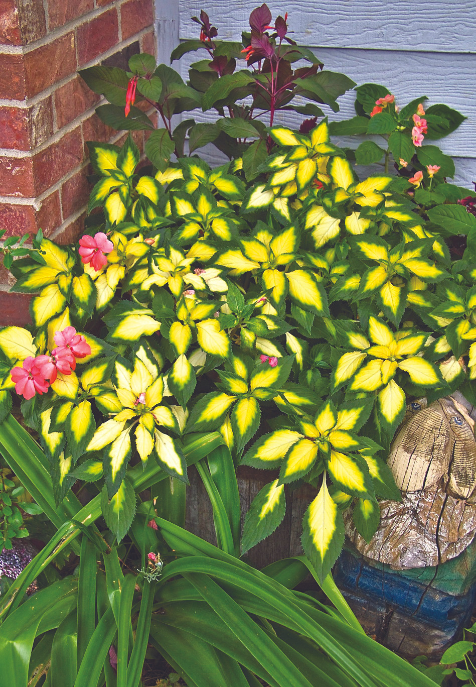 Annuals for Shade in Colorado: Variegated New Guinea impatiens