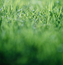 Spotty Buffalo Grass