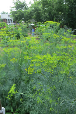 Lots of Dill grows wild at the Garden