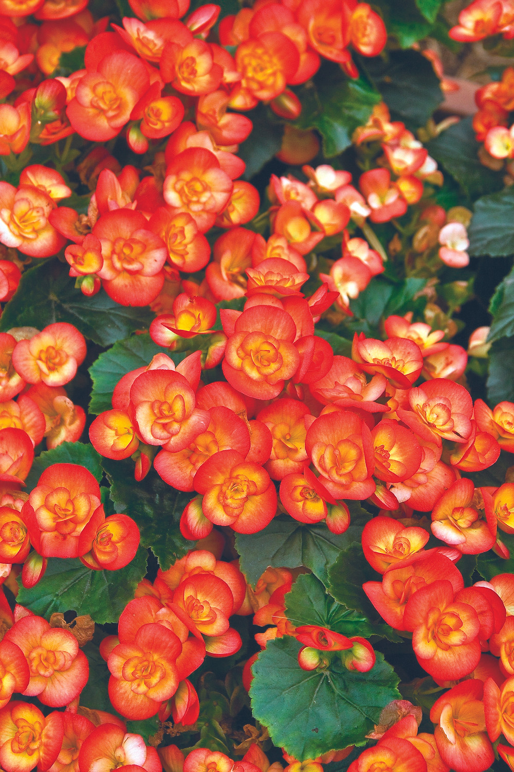Annuals for Shade in Colorado: Bedding begonia, Amstel Carneval
