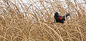 red-winged-blackbird.jpg