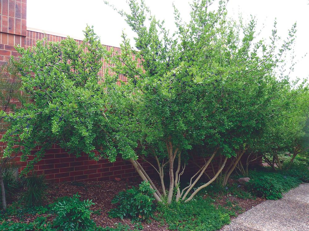 Native Colorado Small Tree: New Mexican Privet