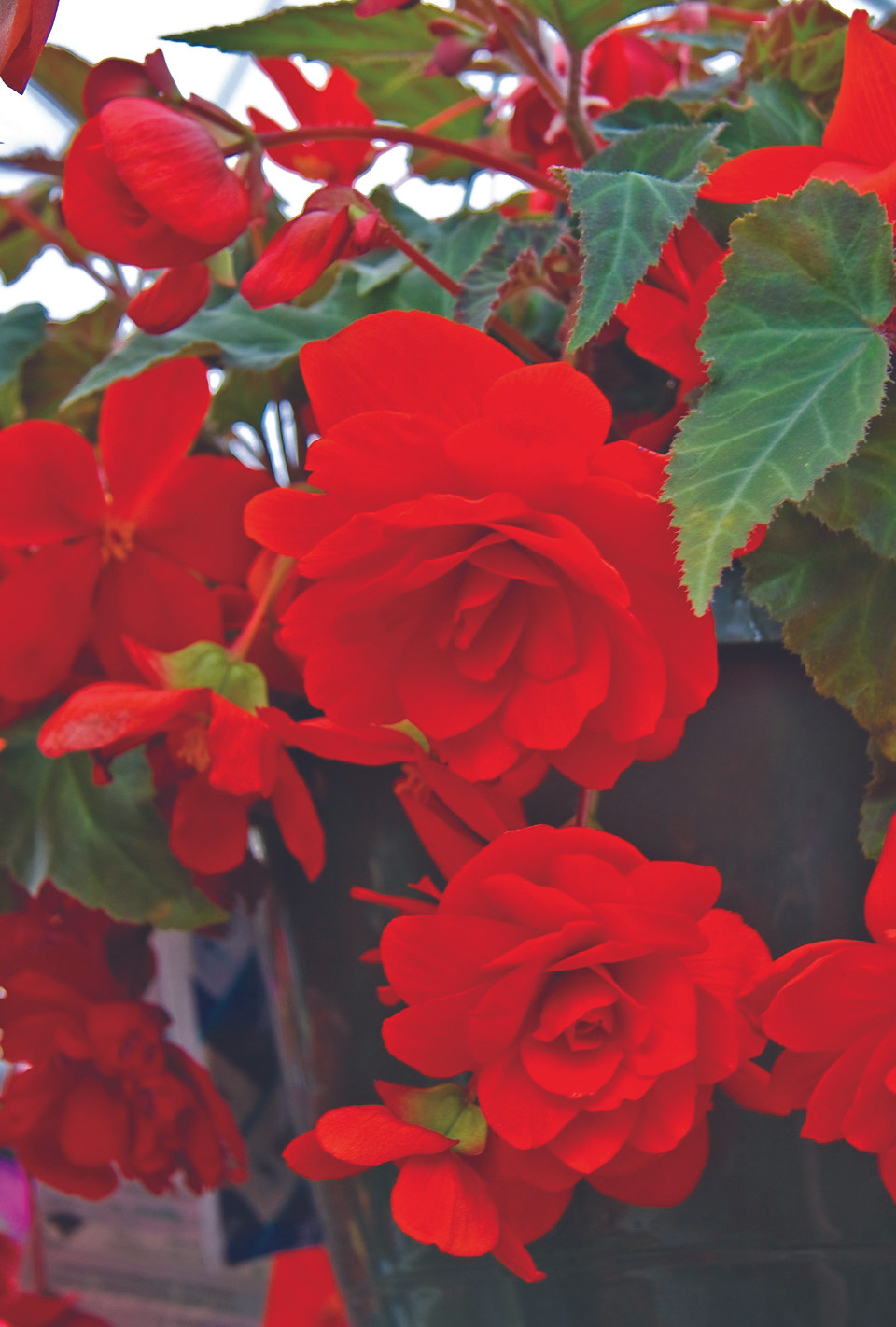 Annuals for Shade in Colorado: Red double-flowered tuberous begonia.