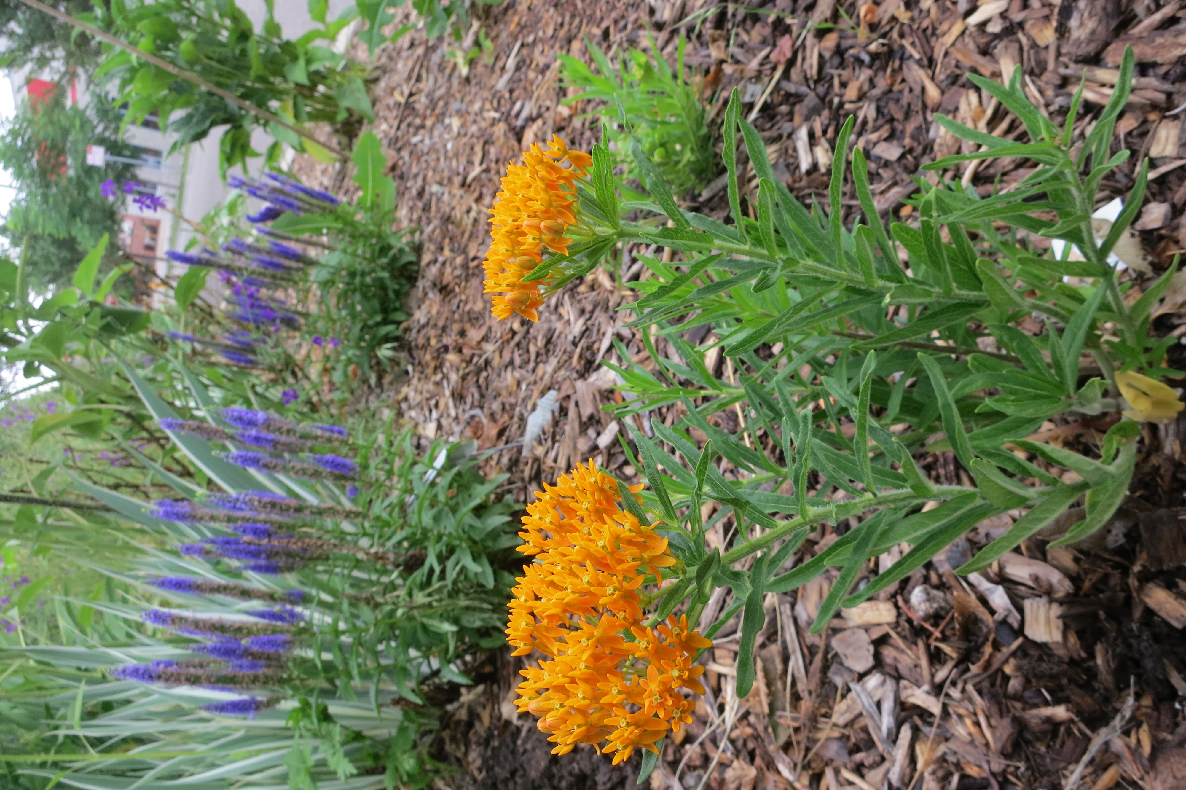 Butterfly-Milkweed-Community-Garden-IMG_