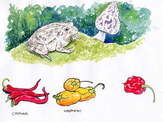 Toad and Hot Peppers - Illustration by Idelle Fisher
