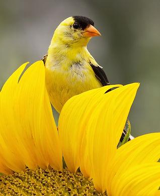 Goldfinch SunFl p 14.jpg