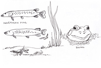 Garden Illustration - Pike and Bullfrog