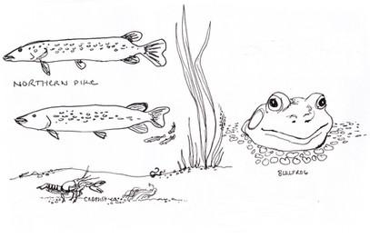 Garden Illustration - Pike and Bullfrog