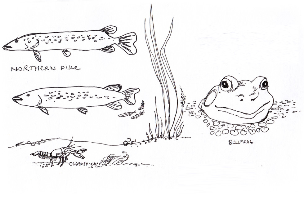 Pike fish and Bullfrog Illustration by Idelle Fisher