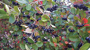 Chokeberries, Chokecherries, Sandcherries: Some Wild Fruits for Colorado