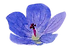 Geranium-native-flower-transparent-.png