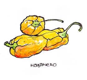 Habaneros - Illustration by Idelle Fishe