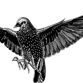 Starlings: Fascinating Garden-variety Dinosaurs