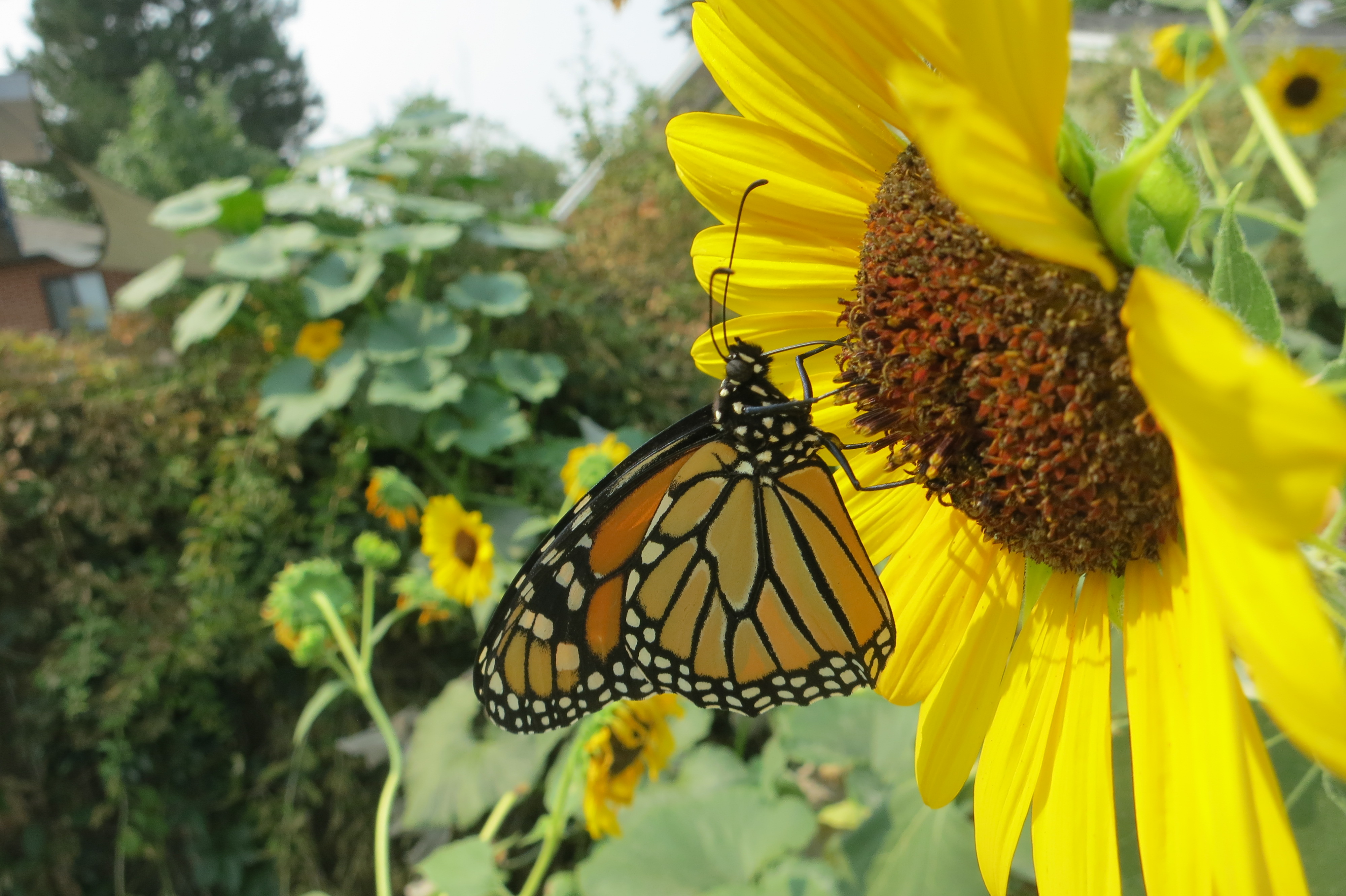 A Monarch visited our garden in 2020!