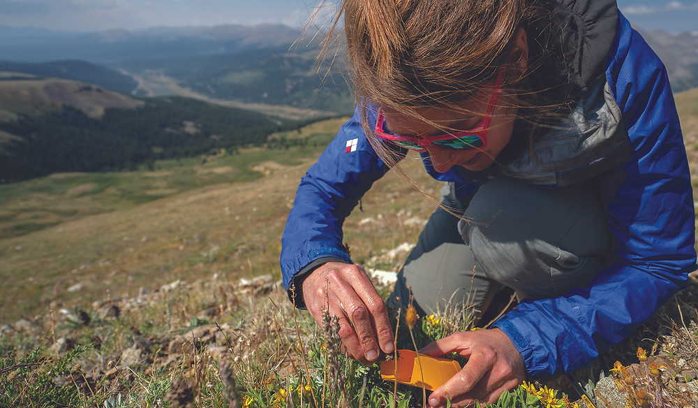 Melissa Ebone of BFAG collecting seed on the Continental Divide. Photo: Dominique Taylor