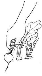 Garden Illustrator - Harvesting Radishes