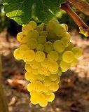 Sauvignon-Blanc-8.jpg
