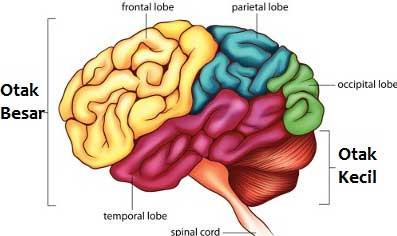 Otak manusia - Conversational Intelligence CIQ - Training Pelatihan Kepemimpinan Jimmy Sudirgo