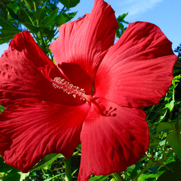 BEAUTIFUL STILL OF RED TROPICAL FLOWER